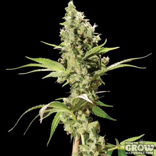 Bulldog – Sour Diesel Feminized Seeds
