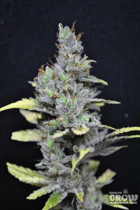 CBD Crew – CBD Medi Haze Seeds
