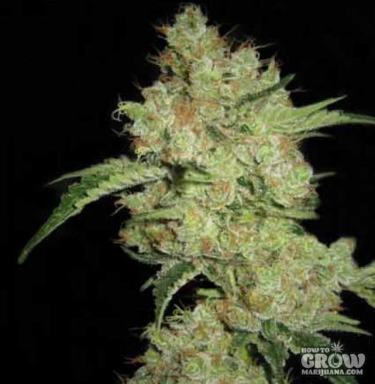 CBD Crew – CBD Shark Feminized Seeds