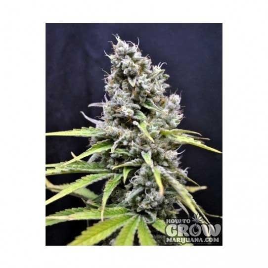 CBD Crew – CBD Skunk Haze Feminized Seeds