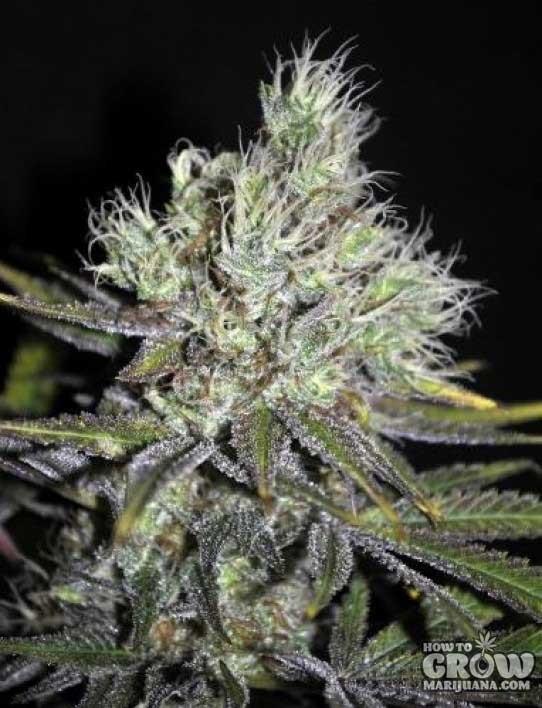 CBD Crew – Sweet'n'Sour Seeds