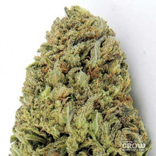 Royal Queen – Candy Kush Express Seeds