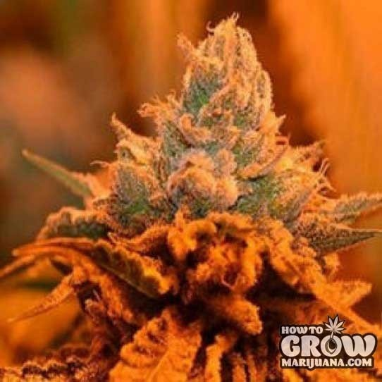 Grandaddy Purps – Candyland Seeds