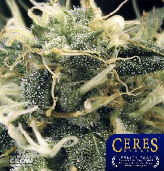 Ceres –  Fruity Thai Marijuana Seeds