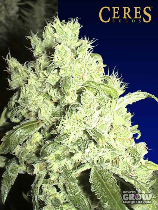 Ceres – White Smurf (Panther) Feminized Seeds