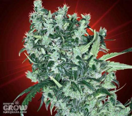 Kaliman  – Cheese Tease Feminized AutoFlowering Seeds