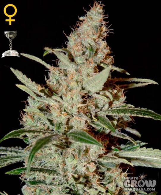 Green House – Chemdog Seeds