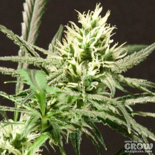 Bulldog – Citral Skunk Feminized Cannabis Seeds