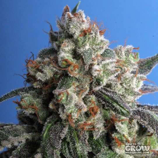 TH – Cold Creek Kush Seeds