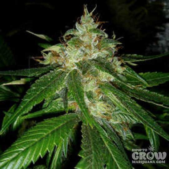 DNA Genetics – Connie Chung Feminized Seeds