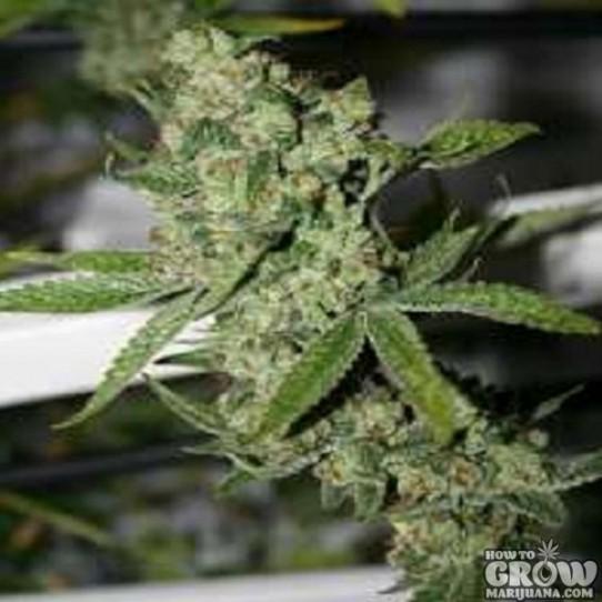 Connoisseur Genetics – Super Silver Sour Diesel Haze Seeds