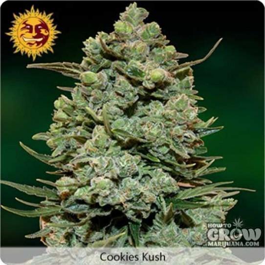 Barney's Farm – Cookie Kush Feminized Seeds