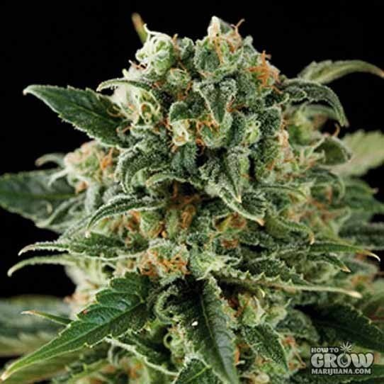 Blimburn – Critical Automatic Feminized Seeds