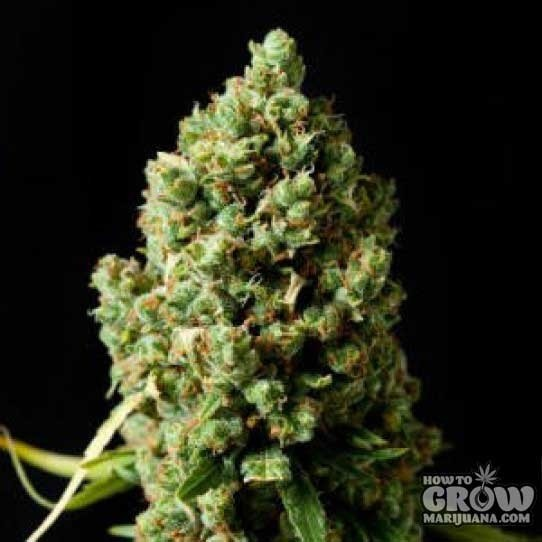 Barney's Farm – Critical Kush Feminized Seeds
