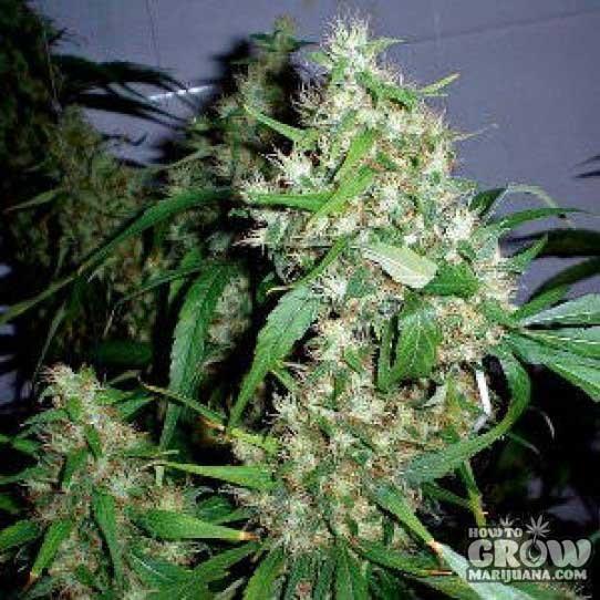 Barney's Farm – Critical Rapido Autoflowering Seeds