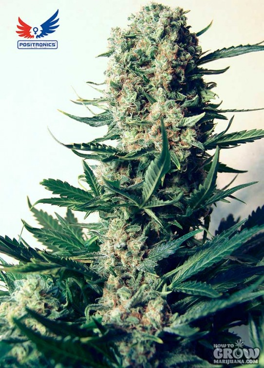 Positronics – Critical 47 Feminized Marijuana Seeds
