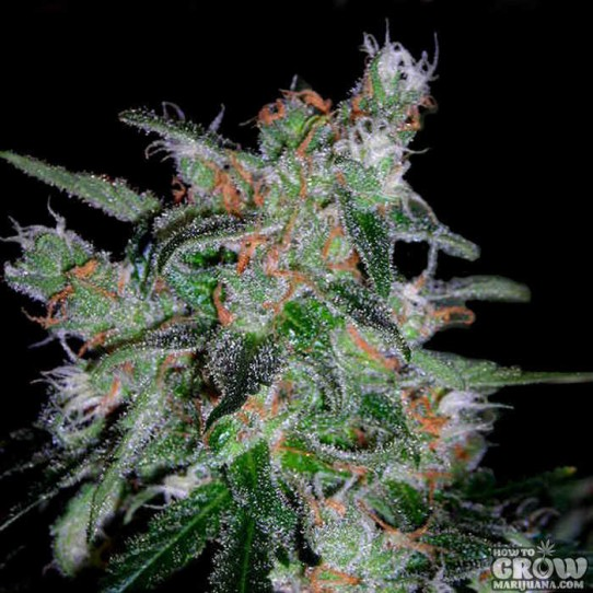 DNA Genetics – 60 Day Lemon Autoflowering Feminized Seeds
