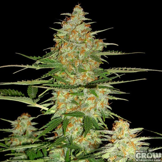 DNA Genetics – 60 Day Wonder Autoflowering Feminized Marijuana Seeds