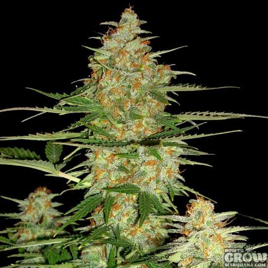 DNA Genetics – 60 Day Wonder Autoflowering Feminized Marijuana Seeds