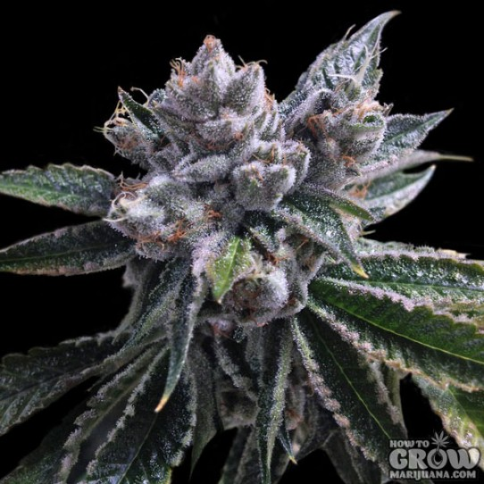 DNA Genetics – Auto El Fuego Feminized Seeds