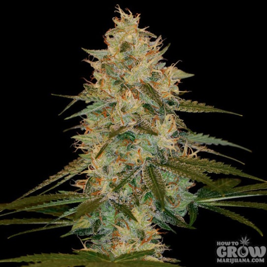 Dna Genetics Chocolope Kush Feminized Seeds