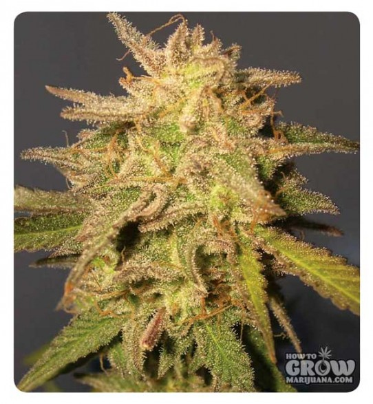 DNA Genetics – Recon Feminized Marijuana Seeds