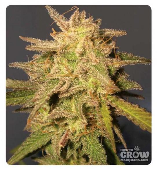 DNA Genetics – Recon Feminized Marijuana Seeds