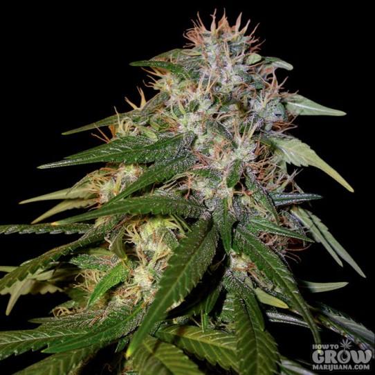 Florida Lemons Dna Genetics Seeds Cannabis Strain Info: Sour Cream Seeds