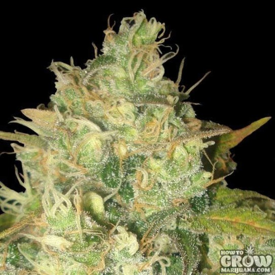 Delicious – Black Russian Feminized Seeds