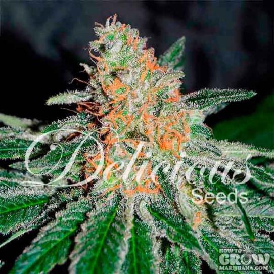 Delicious – CBD Jam Feminized Seeds