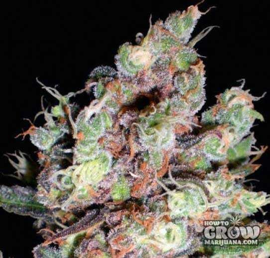 Delicious – Cotton Candy Feminized Seeds