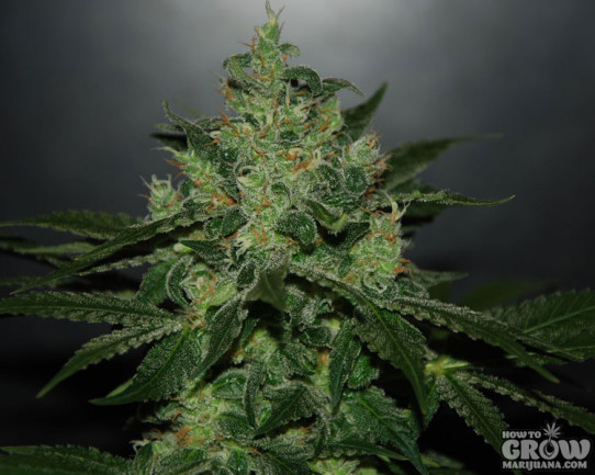 Delicious – Critical Jack Herer Autoflowering Feminized Seeds