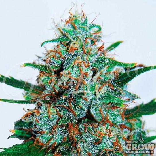 Delicious – Critical Neville Haze Auto Feminized Seeds