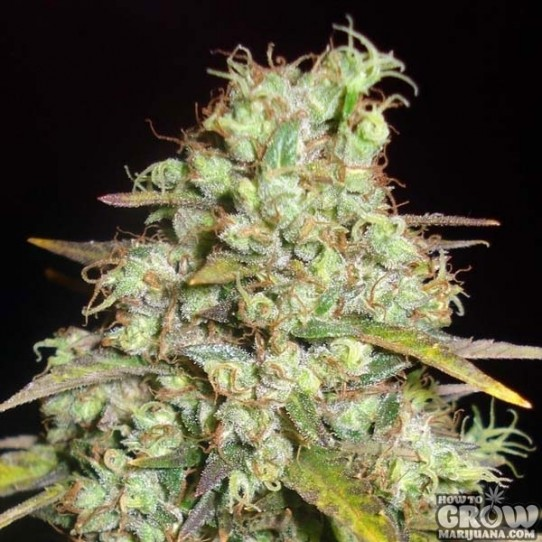 Delicious – Critical Super Silver Haze Feminized Seeds