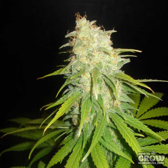 Delicious – Critical Yumbolt Feminized Seeds