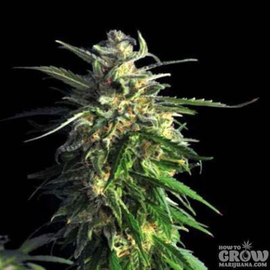 Delicious – La Bella Afrodita Autoflowering Feminized Seeds