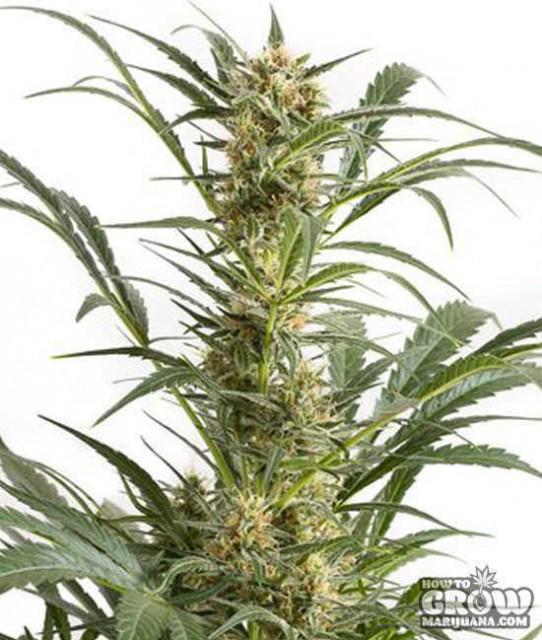 Dinafem – Amnesia XXL Autoflowering Feminized Seeds