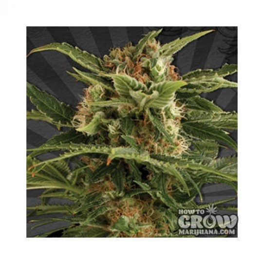 Dinafem – Auto Pounder with Cheese Feminized Autoflowering Seeds