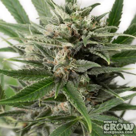 Dinafem – Blue Amnesia XXL Autoflowering Feminized Seeds