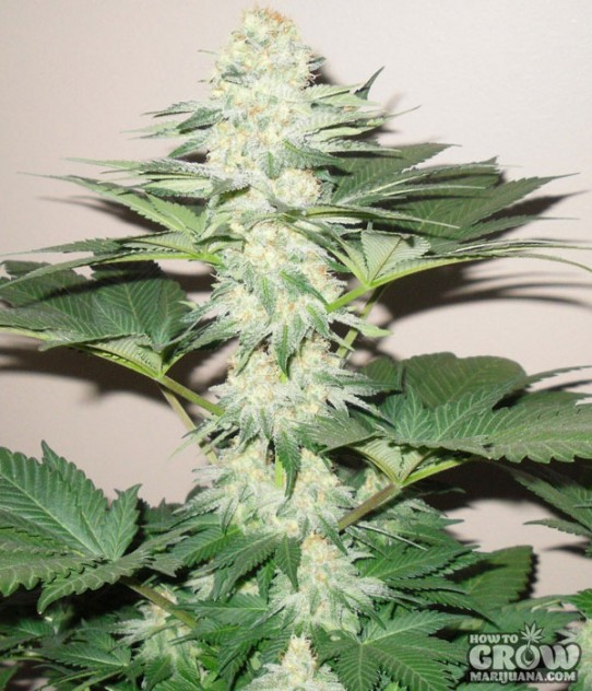 how to grow blue weed