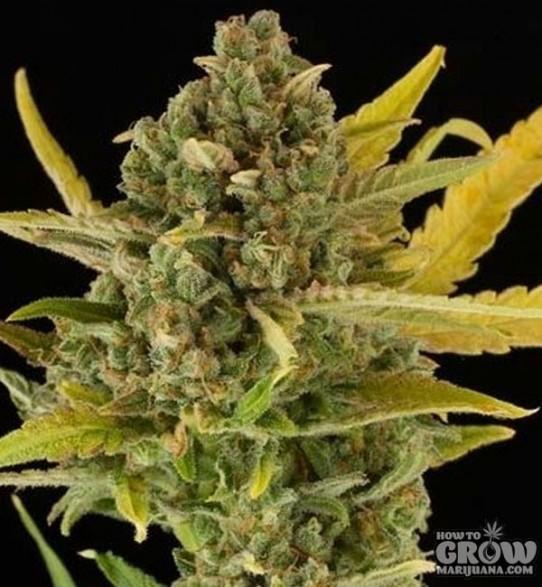 Dinafem – Critical Cheese Autoflowering Feminized Seeds