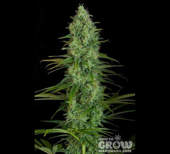 Dinafem – Critical Jack Feminized  Seeds