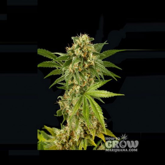 Dinafem - Kush N Cheese Feminized Seeds
