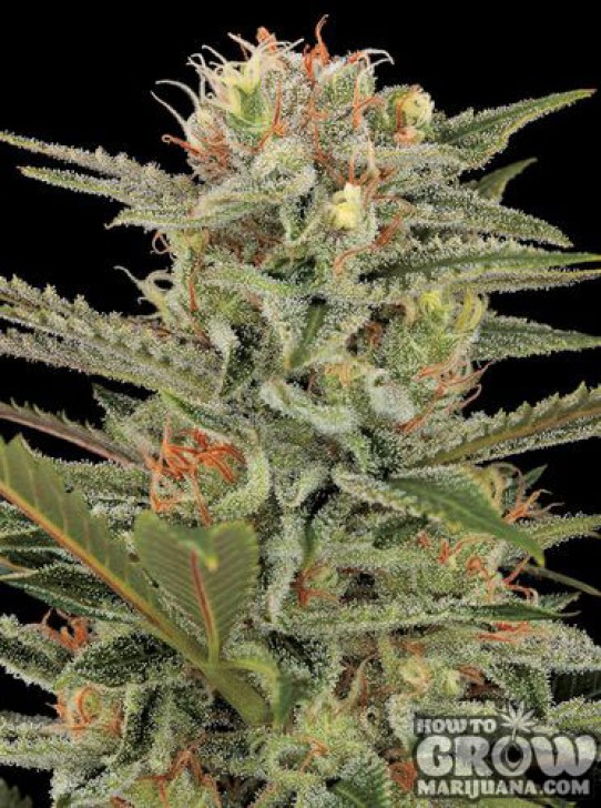 Dinafem – Original Amnesia Feminized Seeds