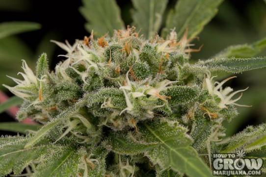 Dinafem – Strawberry Amnesia Feminized Seeds