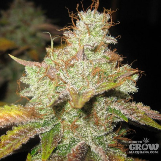 Dr Krippling – Krippleberry Autoflowering Feminized Seeds