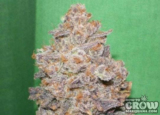 Dr Underground – Melon Gum Feminized Seeds
