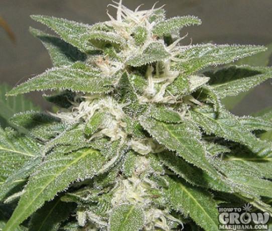 Dr. Underground – Kong 47 Feminized Seeds