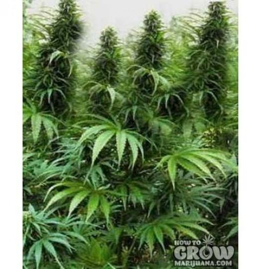Holy Smoke – Drakensberg AutoFlowering Seeds