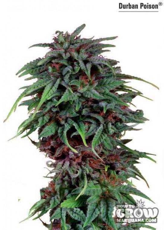 Durban Poison Seeds – Strain History – Feminized, Autoflowering and Regular